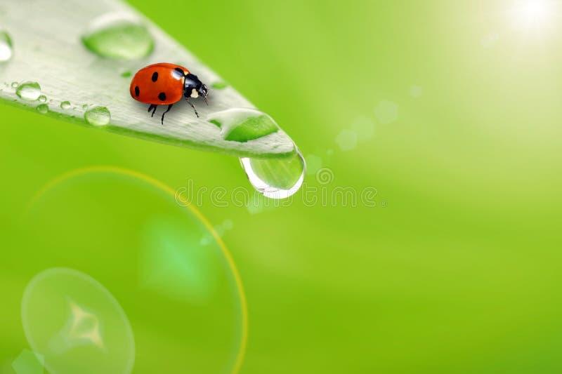 Foglio verde intenso con goccia dell'acqua e del ladybug fotografia stock libera da diritti