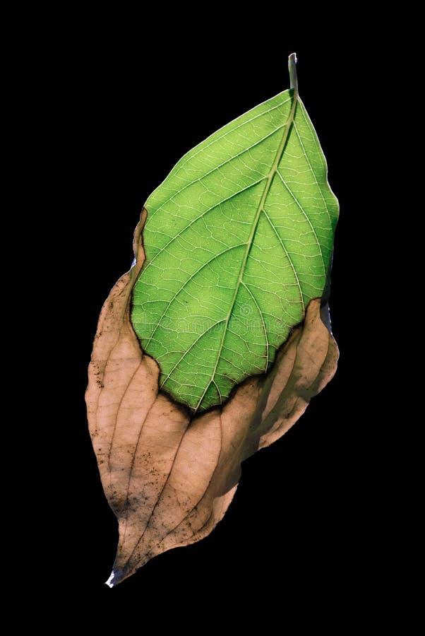 Foglio verde invecchiante sul nero fotografia stock libera da diritti