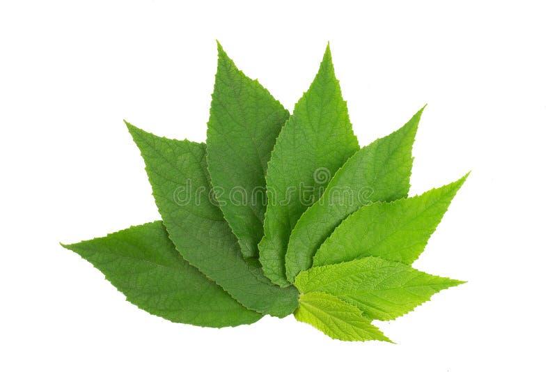 foglio verde Raccolta delle foglie tropicali di varie piante isolate su fondo bianco fotografie stock libere da diritti