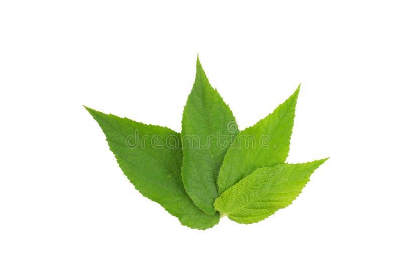 foglio verde Raccolta delle foglie tropicali di varie piante isolate su fondo bianco immagini stock libere da diritti