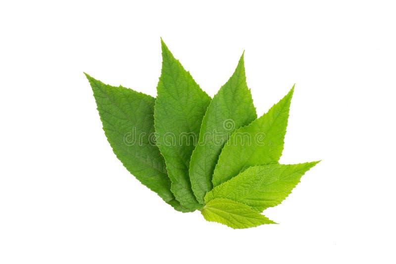 foglio verde Raccolta delle foglie tropicali di varie piante isolate su fondo bianco fotografia stock
