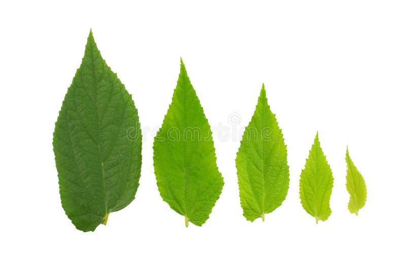 foglio verde Raccolta delle foglie tropicali di varie piante isolate su fondo bianco immagine stock