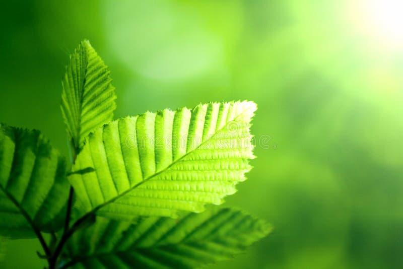 Foglio verde in sole fotografie stock libere da diritti