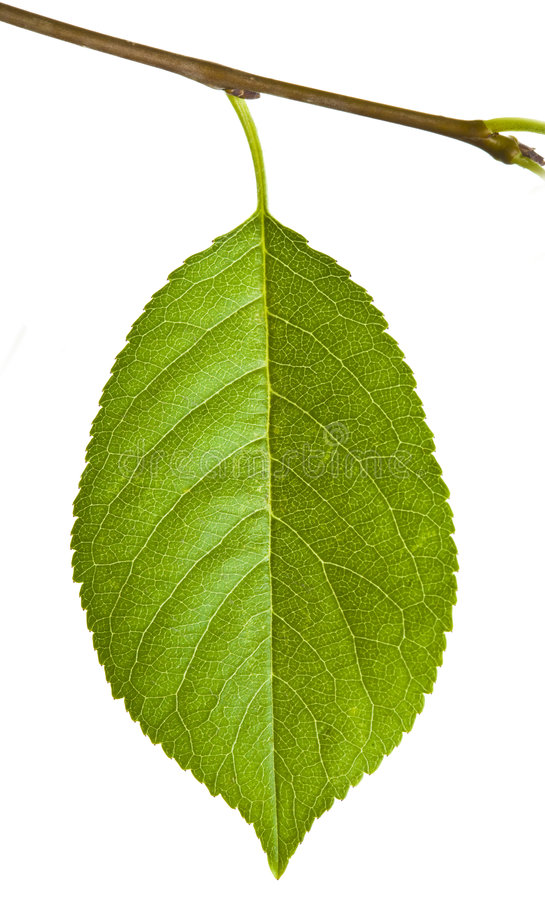 Foglio verde su bianco fotografie stock