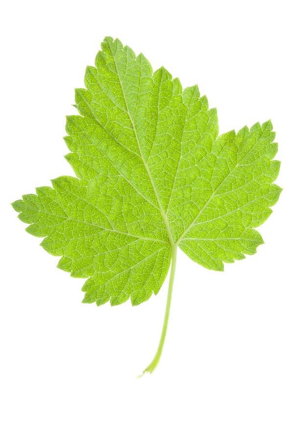Foglio verde su bianco fotografia stock libera da diritti