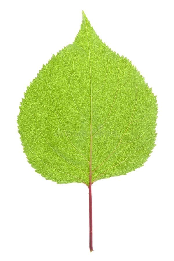 Foglio verde su bianco immagine stock libera da diritti