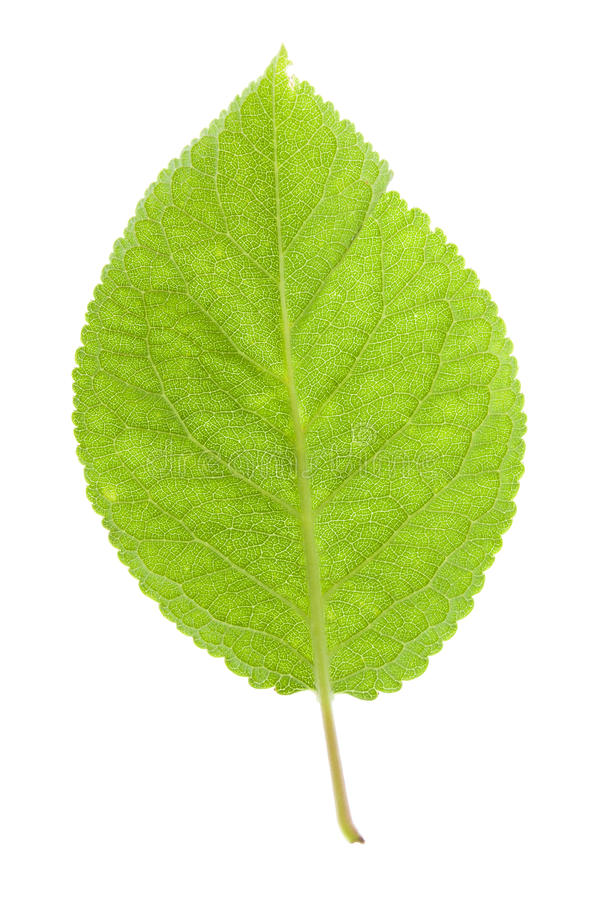 Foglio verde su bianco fotografia stock
