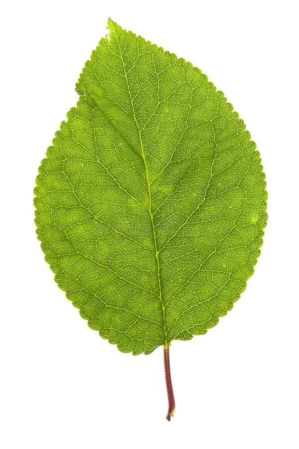 Foglio verde su bianco immagini stock