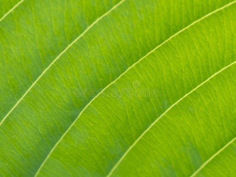 foglio verde Vena leggera fotografia stock libera da diritti