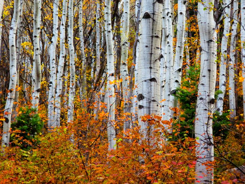 Fogo de Aspen: outono no Uintas imagem de stock royalty free