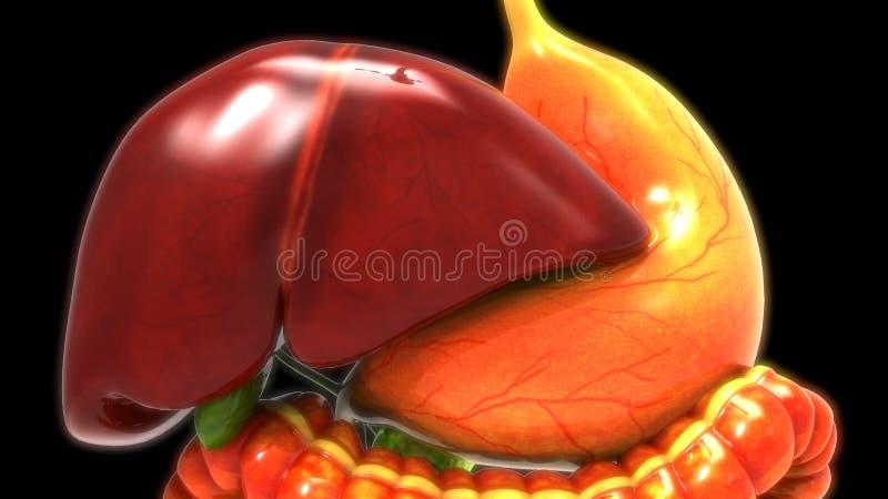 Foie d'appareil digestif humain, estomac, anatomie d'intestin illustration libre de droits
