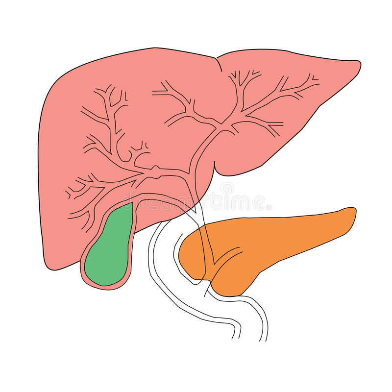 Download Foie et pancréas illustration de vecteur. Illustration du tableau - 76086614