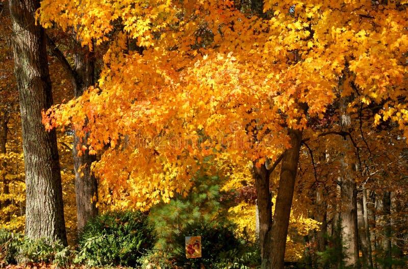 Foilage lumineux d'automne d'or sur le TR image libre de droits