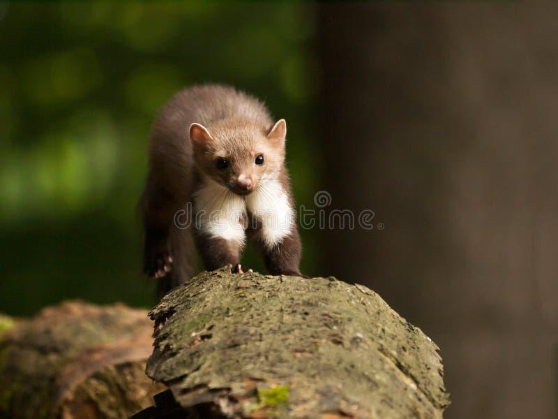 Foina di martes - jum della martora di pietra al ceppo in foresta fotografia stock libera da diritti