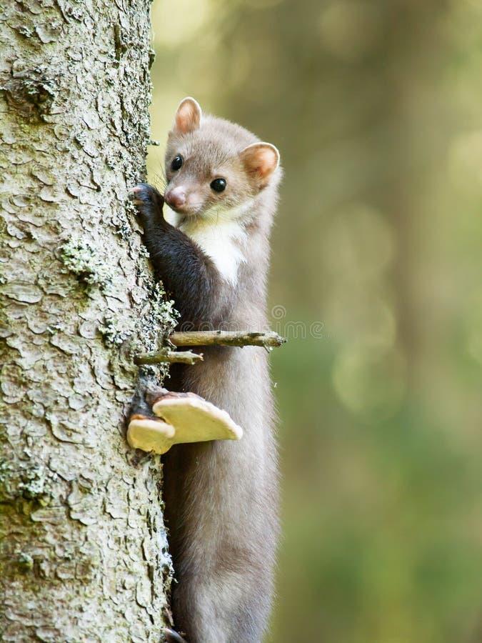 Foina di martes - martora di pietra che scala sull'albero fotografia stock libera da diritti