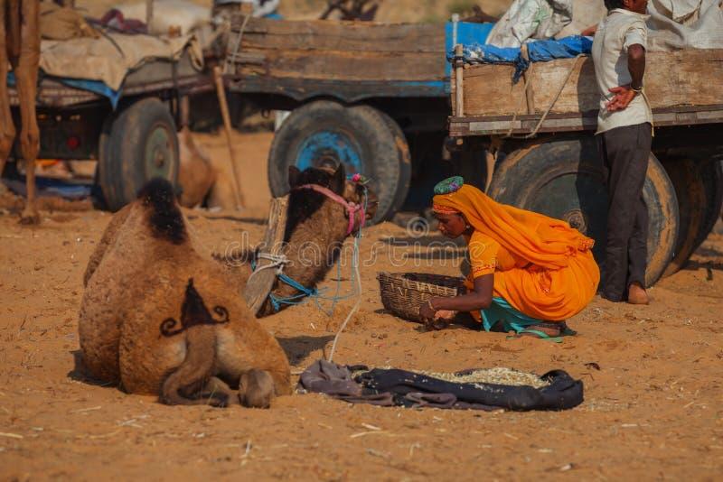 Foire traditionnelle dans Pushkar La femme rassemble des chameaux chiés - le carburant f photographie stock libre de droits