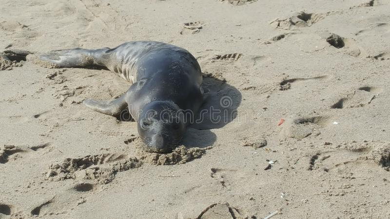 Foka na plaży fotografia stock