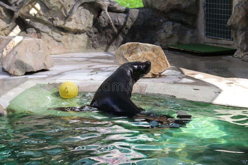 Foka w zoo Librec obrazy royalty free