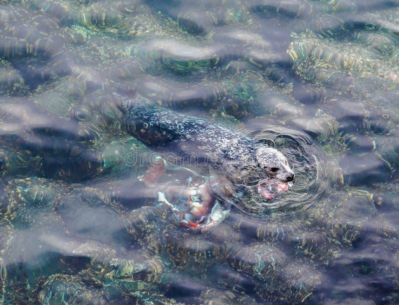 Foki łasowania giganta Pacyfik ośmiornica obraz stock