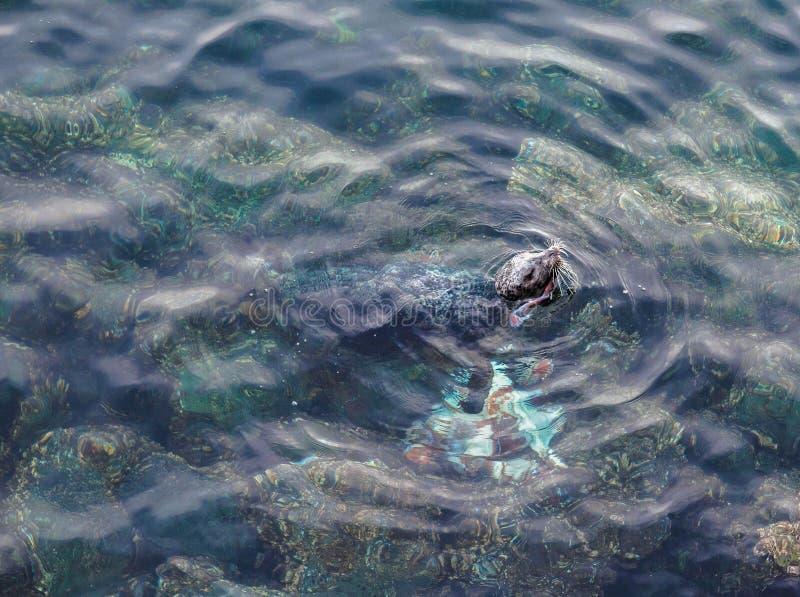 Foki łasowania giganta Pacyfik ośmiornica obraz royalty free
