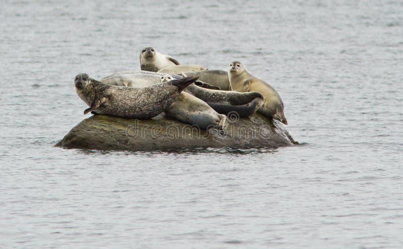 Download Foki zdjęcie stock. Obraz złożonej z zwierzę, wyspa, północ - 26781890