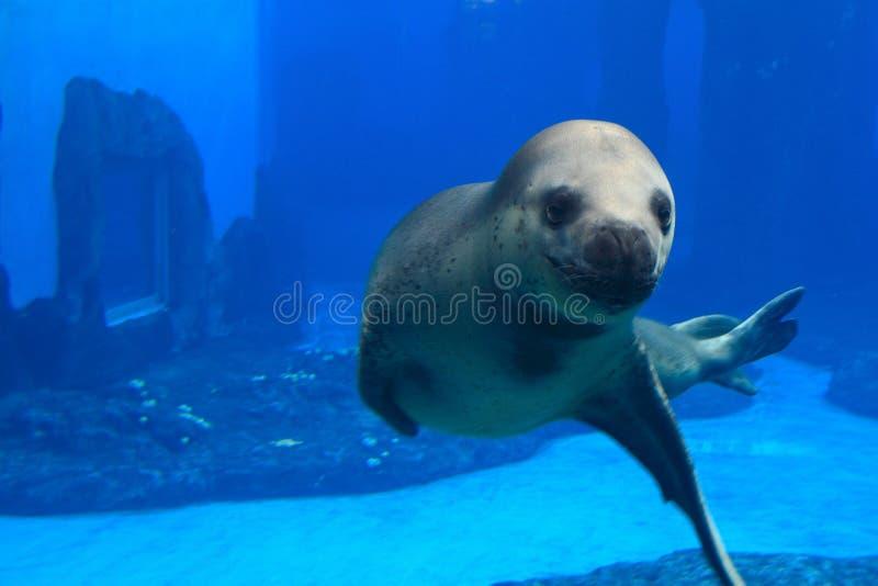 foki przedstawienie zoo obrazy stock