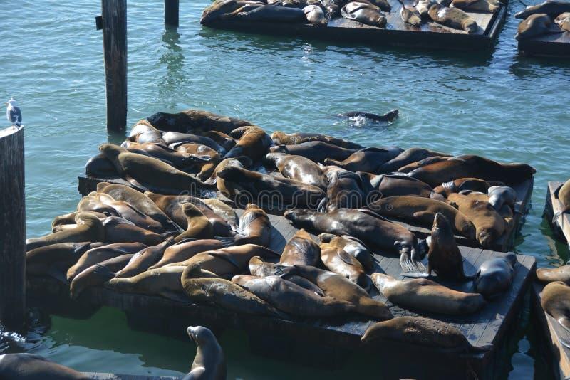 Foki przy fishermans nabrzeżem San Fransisco fotografia royalty free