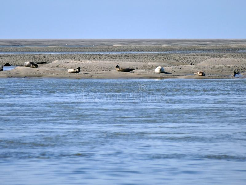 Foki sunbathing na piaska banku dla wybrze?a Somme zatoka Francja zdjęcie royalty free