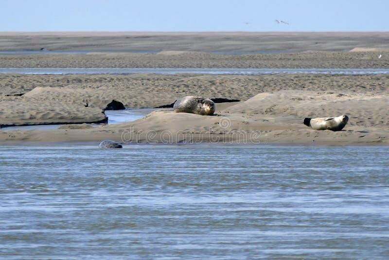 Foki sunbathing na piaska banku dla wybrze?a Somme zatoka Francja fotografia stock