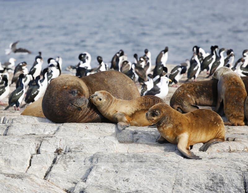 Foki w Antarctica obraz royalty free