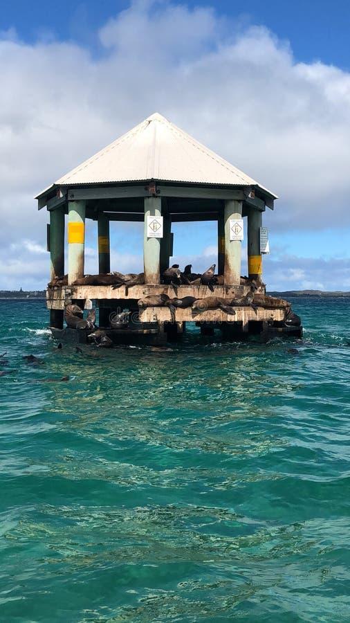 Foki w portowej Phillip zatoce, queenscliff obrazy stock