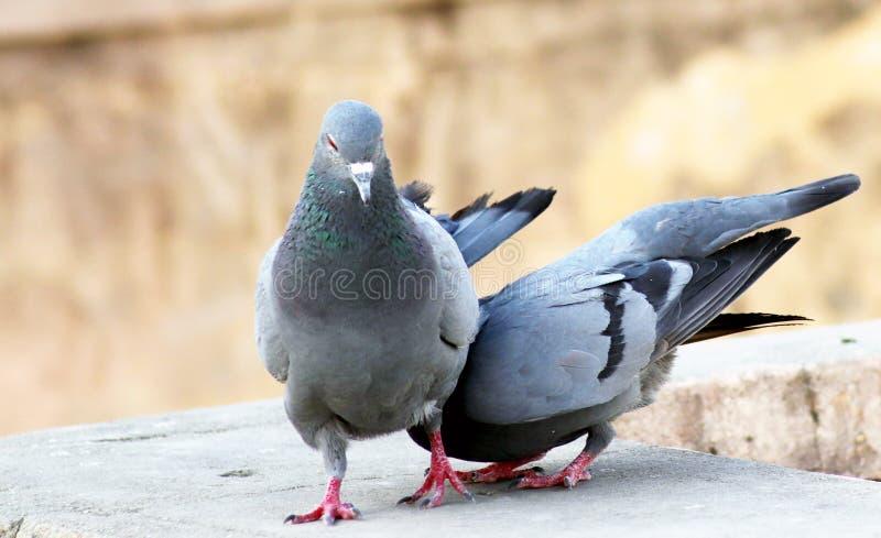 Fokken van het de liefde tougater paar van de slepen het grijze Indische duif royalty-vrije stock fotografie