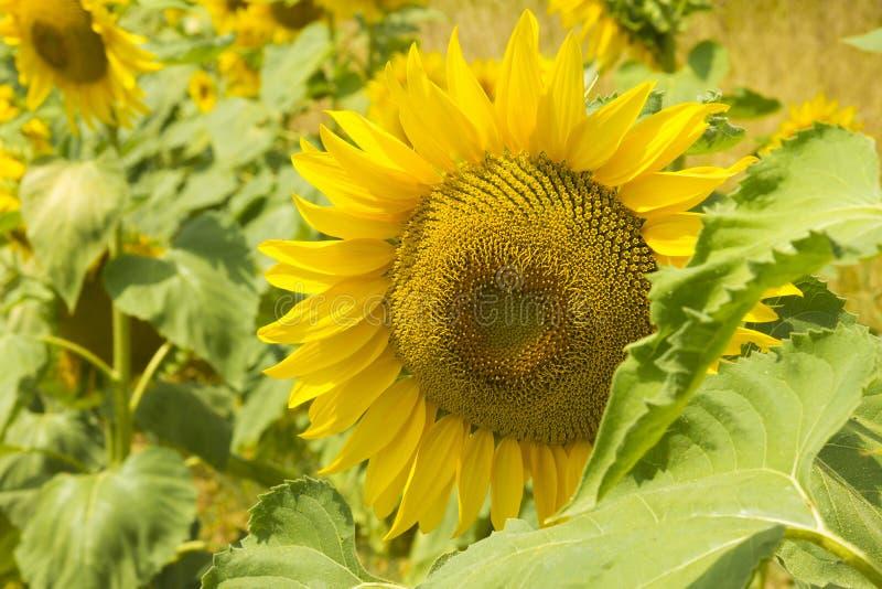 Sonnenblume im Abschluss oben