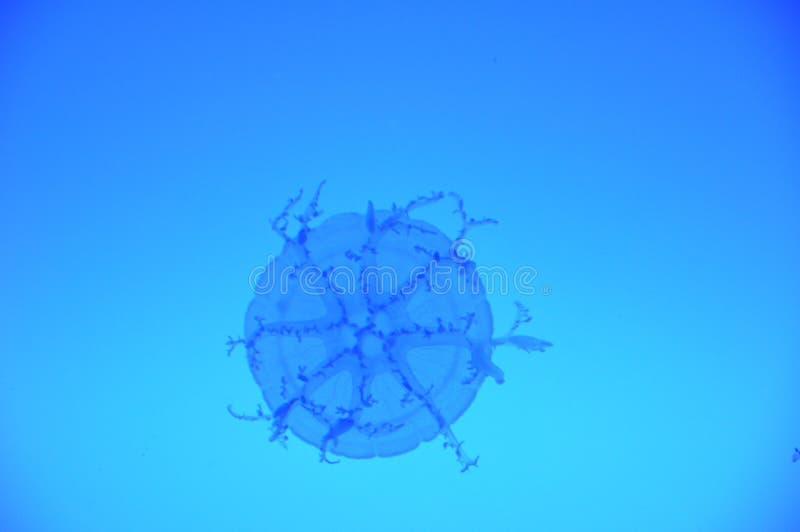 Fokus auf wirklich kleinen Quallen in einem Wassermann stockbilder