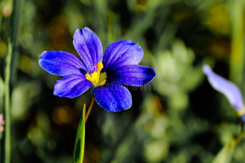 Fokus för enkel blomma för Sisyrinchiumangustifolium selektiv royaltyfri bild