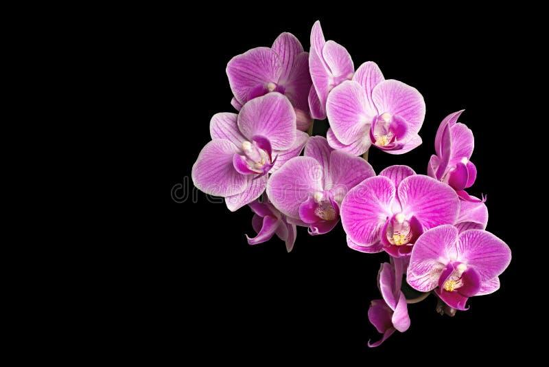 Fokus som staplar fotoet av purpurfärgade orkidér som isoleras på svart bakgrund royaltyfri bild