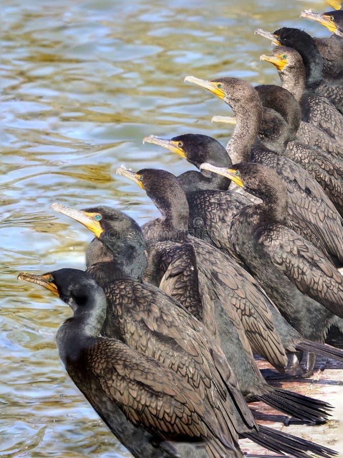 Fokus staplad bild av en linje av denkrönade kormoran som vilar på sjöshorelinen royaltyfri bild