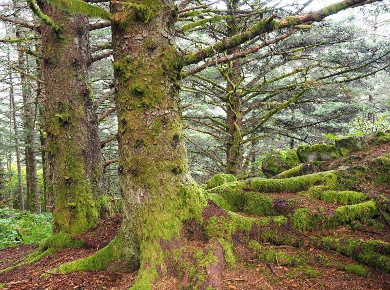 Fokusen staplade bild av Moss Covered Spruce Trees i Kodiak, tyvärr royaltyfria bilder