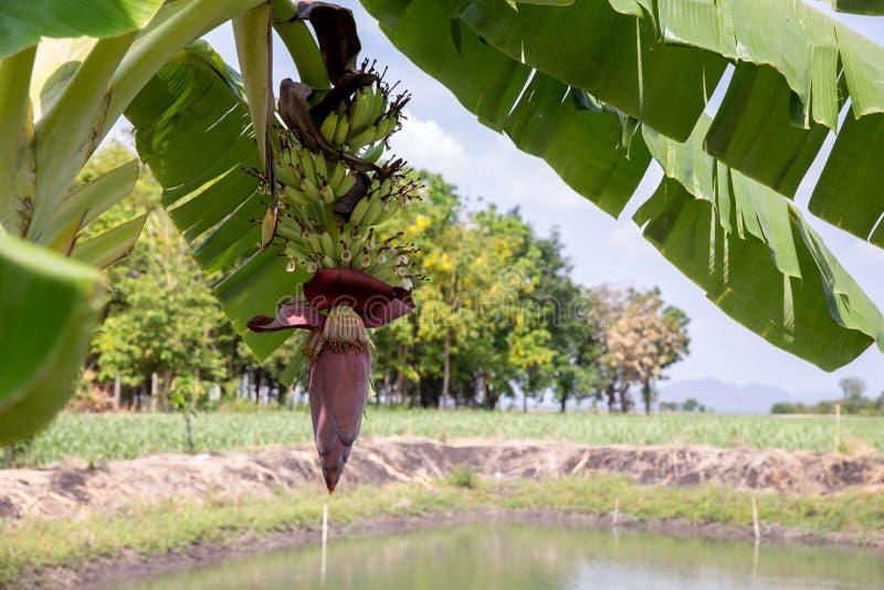 Fokusera en bananknopp p? tr?d med bakgrund f?r f?ltet f?r gr?nt gr?s Asiatisk toppen frukt b?r fruktt tropiskt bild f?r bakgrund royaltyfri fotografi