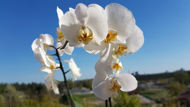 Fokuserad vit orkidé arkivbild