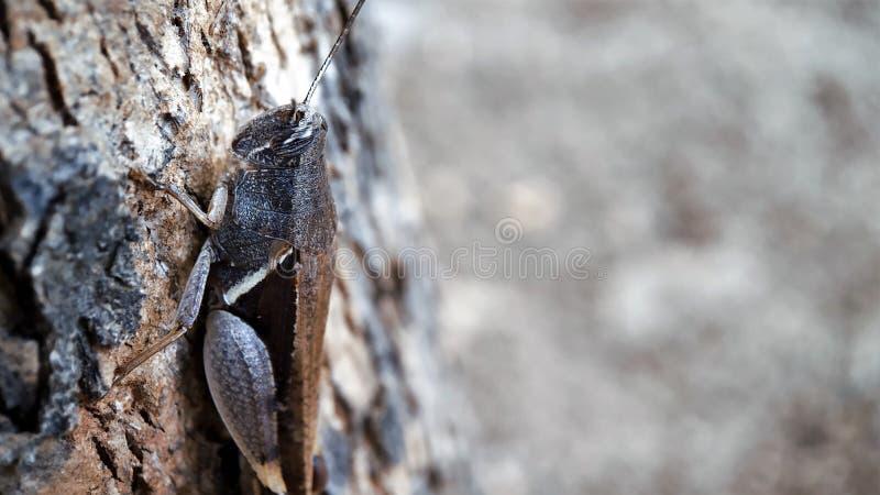 Fokussierte die volle Körperansicht der dunkelbraunen Heuschrecke, die auf einem Baum sitzt gut, linke Seite des Makrofotos lizenzfreies stockfoto