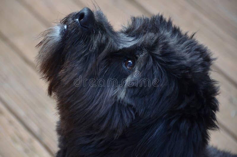 Fokussierter schwarzer Hund lizenzfreie stockfotos