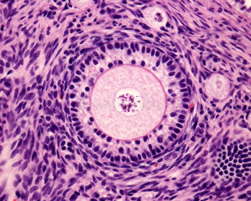 Folículo primario del ovario imagenes de archivo