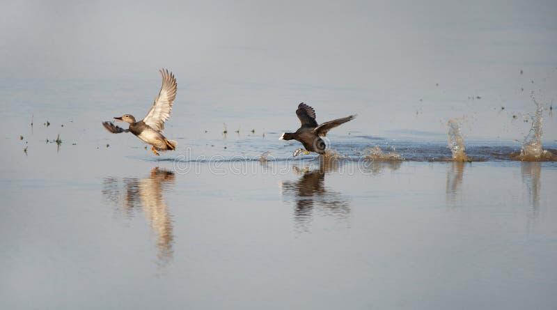 Folaga calva arrabbiata che insegue una canapiglia sul lago fotografia stock