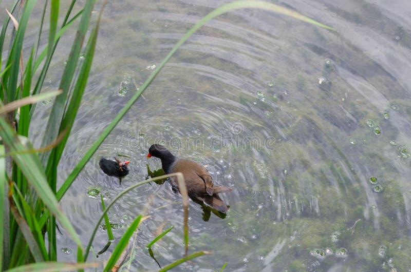 Folaga comune di chloropus del Gallinula della gallinella d'acqua che alimenta il suo pulcino Essi immagine stock