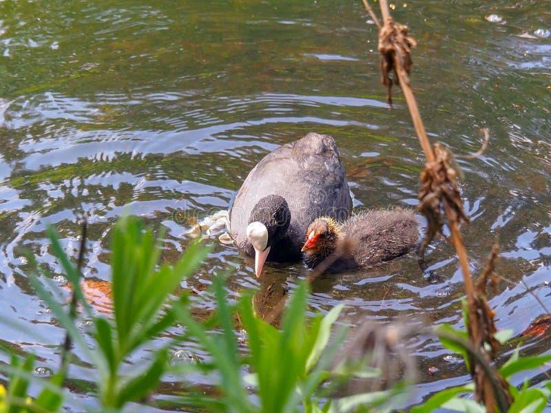 Folaga del nero della madre con nuoto del pulcino nello stagno sopra durante il tempo di primavera fotografia stock