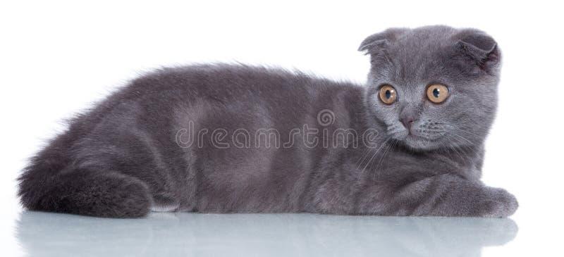 Fold Kitten Stock Images