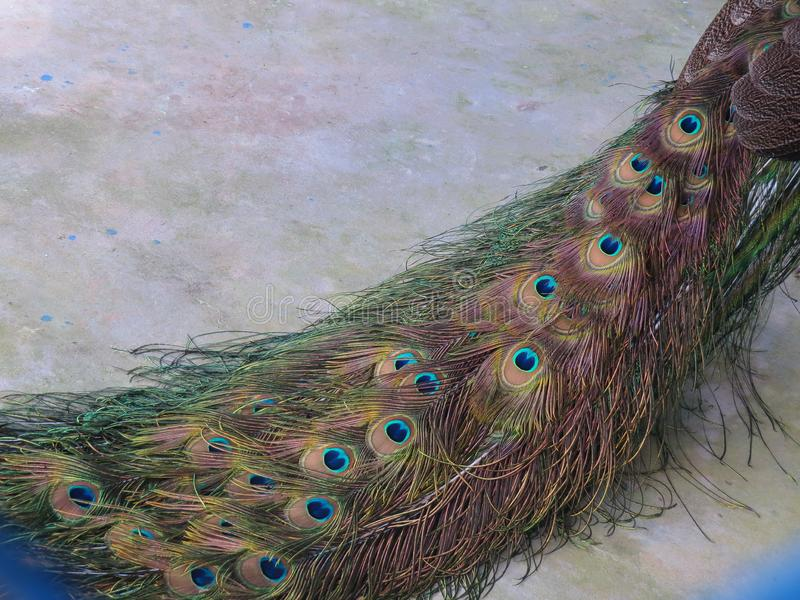 Folded picturesque peacock tail on a color floor. Diagonal positioned. stock photos