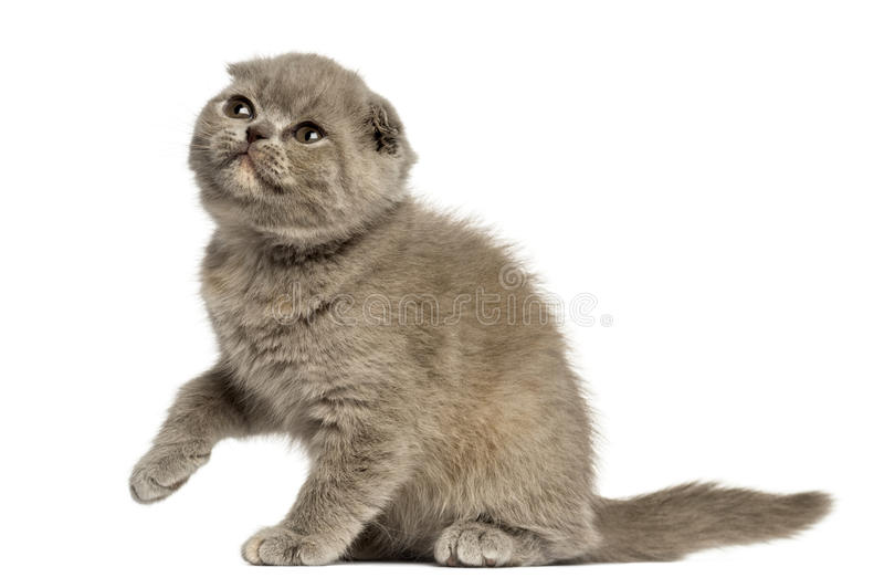 Foldex kattunge som ser upp isolerad på vit arkivfoto