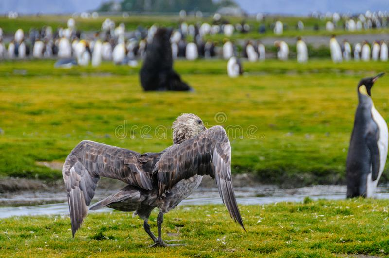 Folding its Wings. A Southern Giant Petrel is folding its wings after it tried to scare away a couple of King Penguins. Salisbury Plains: South Georgia stock photo